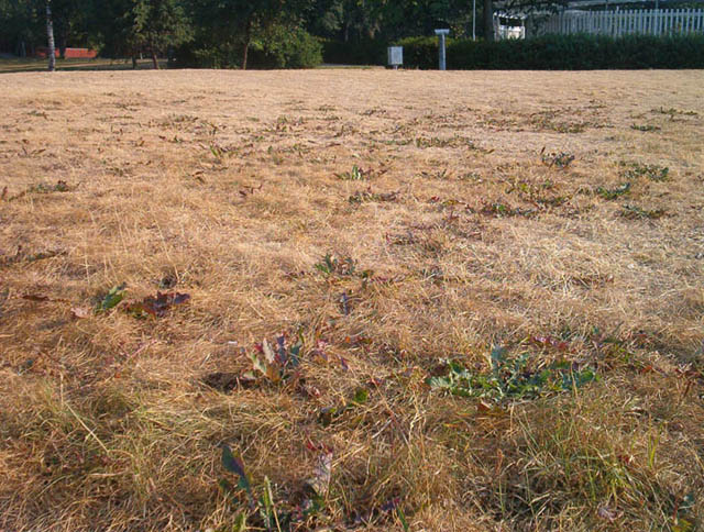 burnt grass looking brown